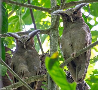 Crested Owl (Lophostrix cristata) - near Napo Clay Lick