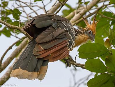 Hoatzin (Opisthocomus hoazin) - Sani Lodge