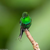 Green Thorntail (Discosura conversii) - Milpe Forest Reserve