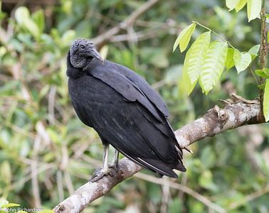 Black Vulture (Coragyps atratus) - Sani