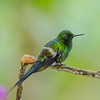 Green Thorntail (Discosura conversii) - - Mashpi