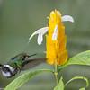 Wire-crested Thorntail female (Discosura popelairii) - Rio Blanco