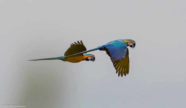 Blue and Yellow Macaw (Ara ararauna) - Sani Tower