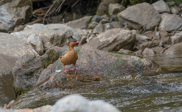 Torrent Duck female(Merganetta armata) - Guango Lodge