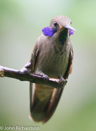 Brown Violetear (Colibri delphinae) - Rodney's garden in Mindo