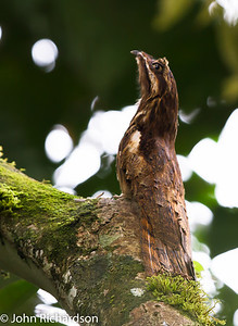 Long-tailed Potoo (Nyctibius aethereus)  Amazon