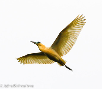 Capped Heron (Pilherodius pileatus)  Amazon