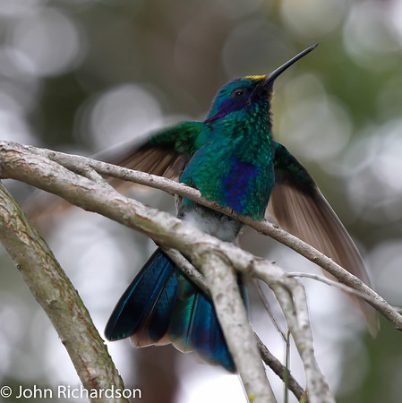 Sparkling Violetear (Colibri coruscans) - Los Chillos Valley near Quito