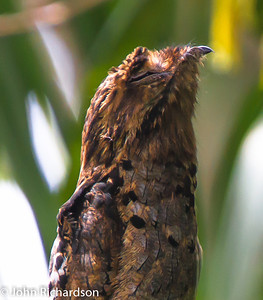 Common Potoo (Nyctibius griseus) - Amazon