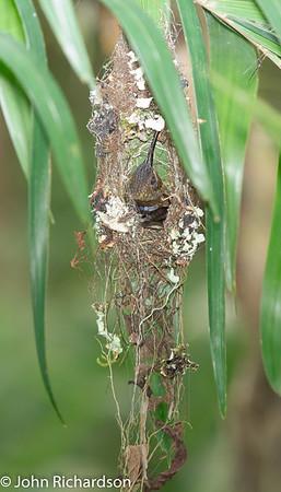 Rufous-breasted Hermit (Claucis hirsutus affinis) - Amazon