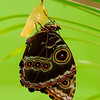 Mindo - Hatching butterfly