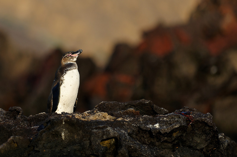Bartolome Island - Galapagos Penguin