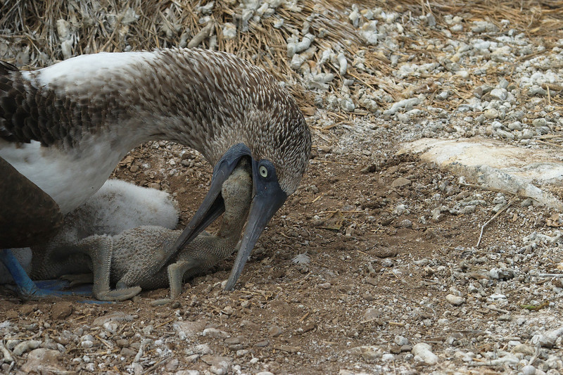 Espanola - Blue-Footed Booby with chick