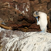 Barolome Island - Dancing Blue-footed booby