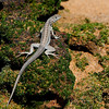 Bartolome Island - Lava Lizard