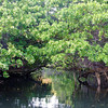 Santa Cruz Island -  Caleta Tortuga Negra - Mangrove Forest