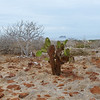 North Symour Island - Opuntia Cactus and Palo Santo trees