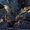 Bartolome - Lava Heron