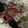South Plaza Island - Red Crab