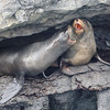 Santiago Island - James bay - Fur Sea Lions in Lava Tube