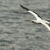 Espanola - Albatross