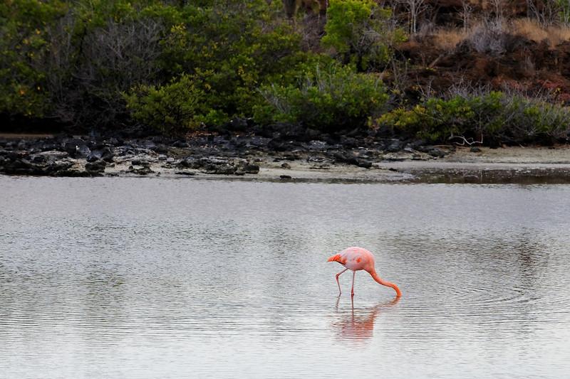 Santa Cruz Island - Flamingo at Playa las Bachas