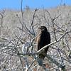 Santiago Island - Galapagos Hawk