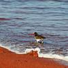 Rabida Island - Oyster Catcher