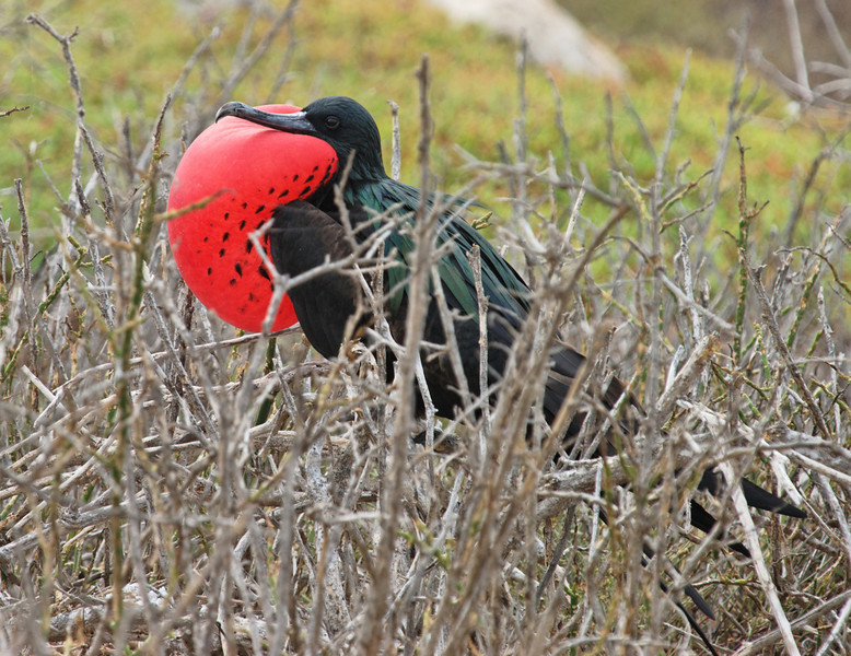 North Symour Island - Great Frigate Bird in love