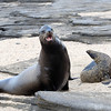 Santiago Island - Fue Sea Lions at James Bay
