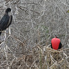 North Seymour Island - Female & male Great Frigate Bird