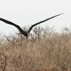 North Seymour Island - Great Frigate Bird