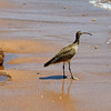 Bartolome Island - South Beach - Whimbrel