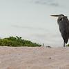 Santa Cruz Island - Grey Heron