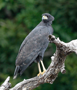 Common Black Hawk near Iwokrama River Lodge