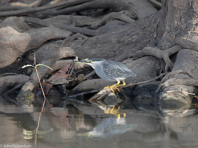 Striated Heron on Awarikru Lake