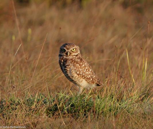 Burrowing Owl near Rock View Lodge