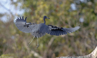 Little Blue Heron on Awarikru Lake