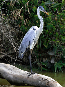 Cocoi Heron on the way to Iwokrama River Lodge