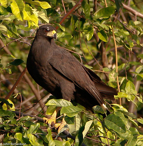 Hook-billed Kite along the Rupununi near Yupukari