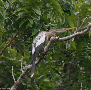 Female Anhinga near Iwokrama River Lodge