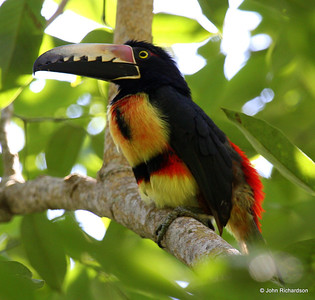 Collared Aracari (Lodge at Pico Bonito)