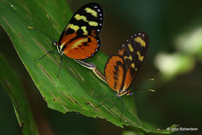 Mating butterflies (Lodge at Pico Bonito)