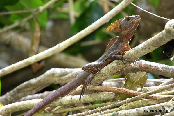 Basilisk Lizard (Cuero y Salado)