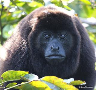 Howler Monkey (Cuero y Salado)