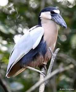 Boat-billed Heron (Cuero y Salado)