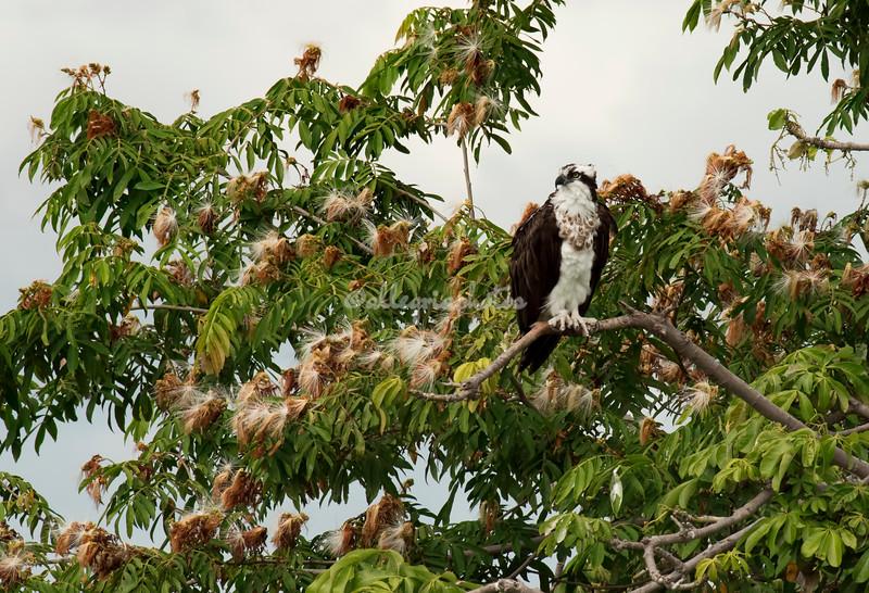 Osprey, Lake Nicaragua