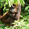 Pregnant spider monkey, Las Isletas, Lake Nicaragua
