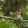 Green Kingfisher, Lake Nicaragua
