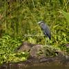 Great Blue Heron, Lake Nicaragua